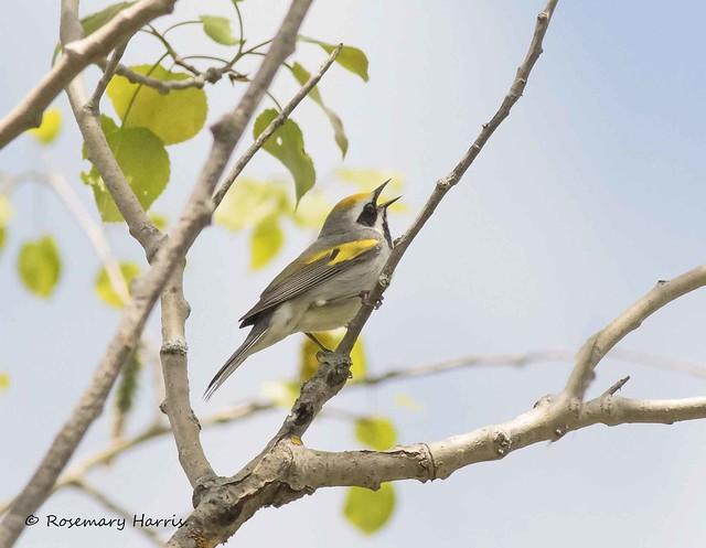 Golden-winged Warbler Male