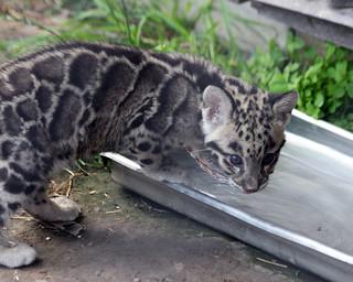 Clouded leopard cub 26