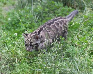 Clouded leopard cub 46