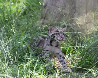 Clouded leopard cub 59