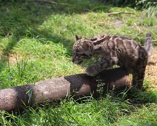 Clouded leopard cub 69