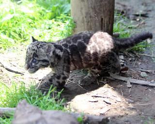 Clouded leopard cub 70