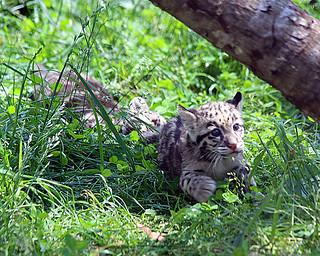 Clouded leopard cub 141