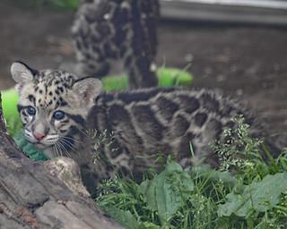 Clouded leopard cub 195