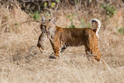 Bobcat With A Fresh Kill