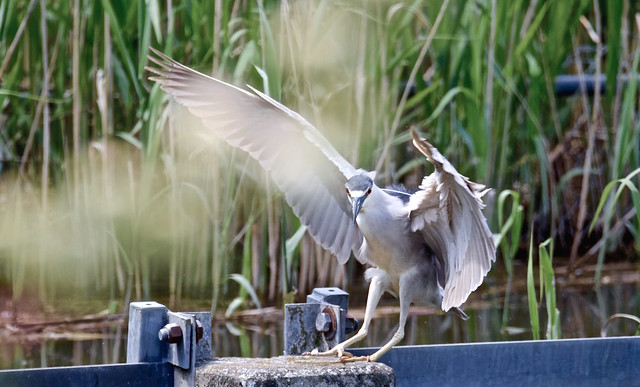 THE HERON HAS LANDED!, ACA PHOTO