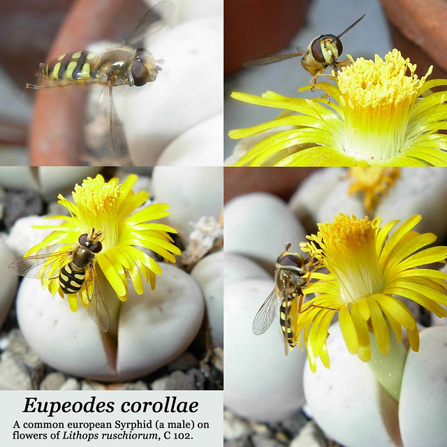 Eupodes corollae (collage)