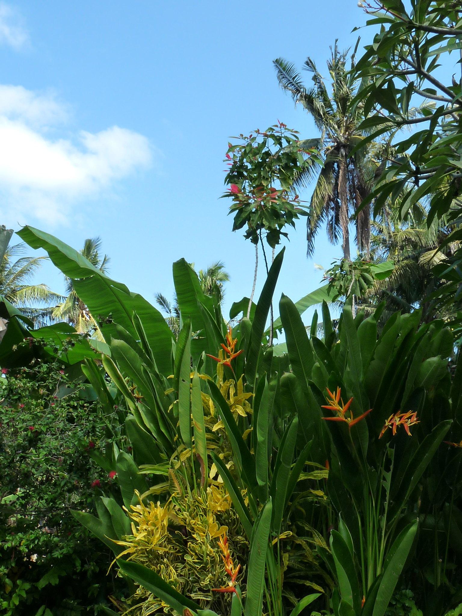 Euphorbia pulcherima 48047676536_7bc6f48656_k