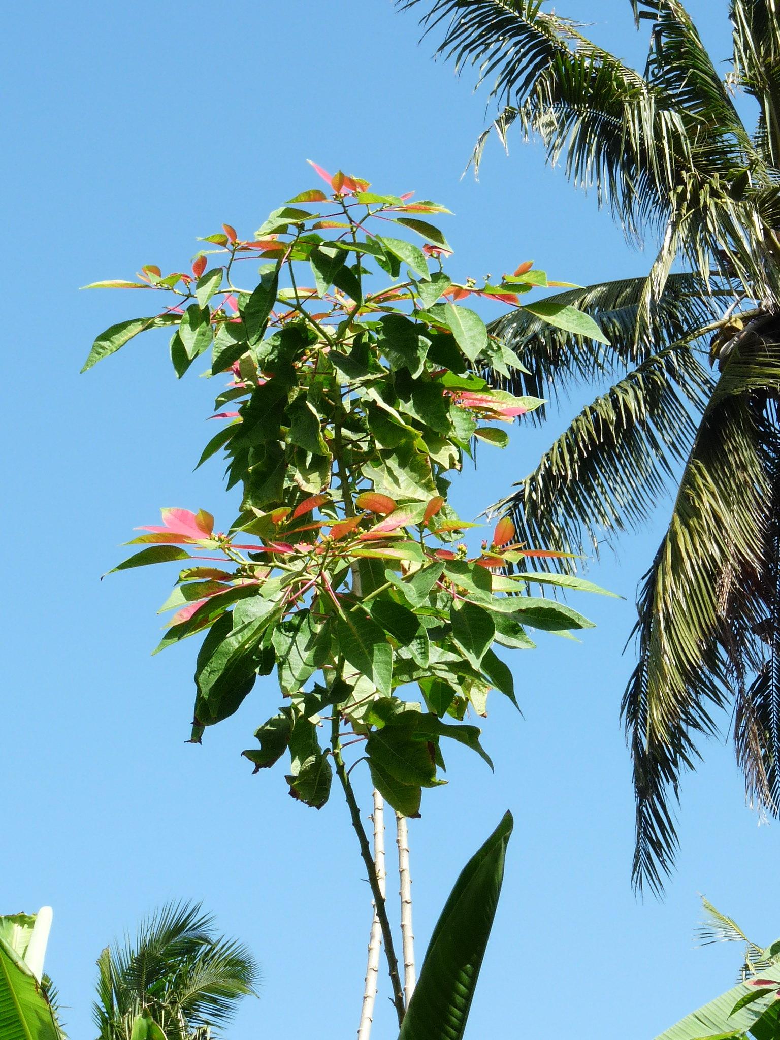 Euphorbia pulcherima 48047719693_befc5e31a7_k