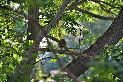 The little owl eating  ...