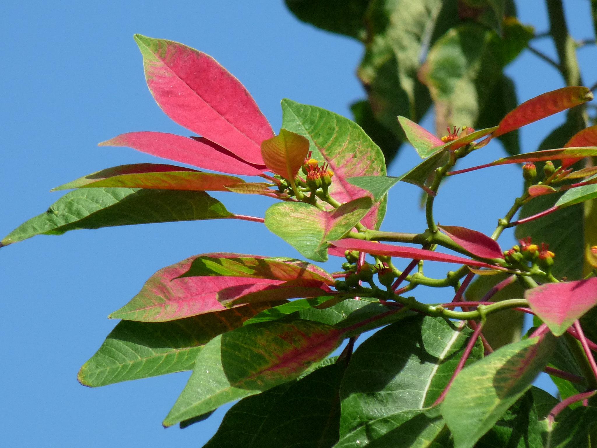 Euphorbia pulcherima 48047759002_361bcb4836_k