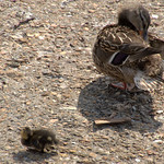 Mother and baby duck at the Docks