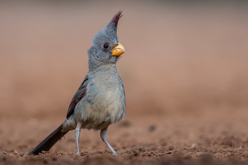 Pyrrhuloxia (Female) | by BlueRidgeNaturalist