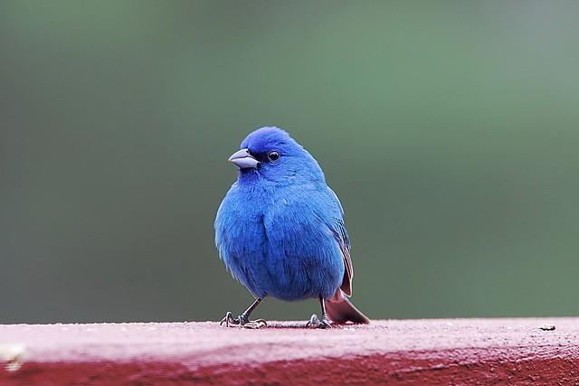 Indigo Bunting [ Blue ]