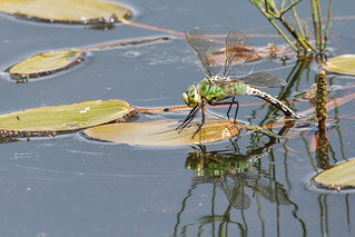 Emperor Dragonfly Lincolnshire 06-06-2019 Ian W