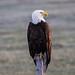 IMG_9702 american bald eagle