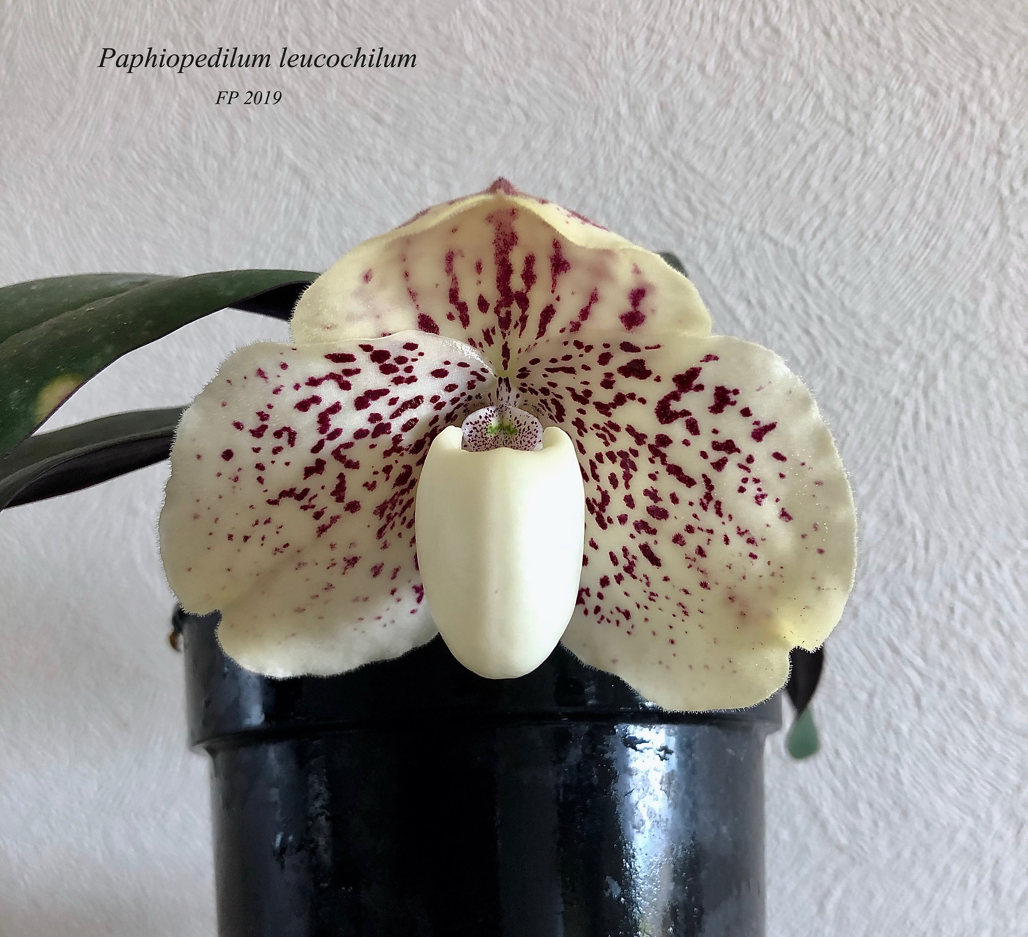 Paphiopeilum leucochilum 48048777413_1fa08a75f9_k