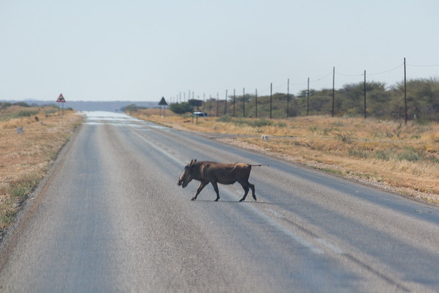 why did the warthog cross the road?