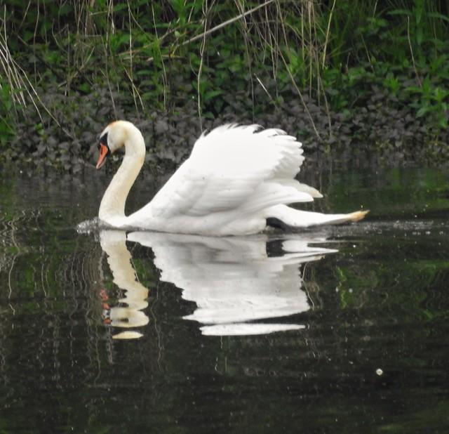 Mute Swan Reflected
