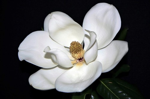 Summer begins when Magnolias are in bloom.