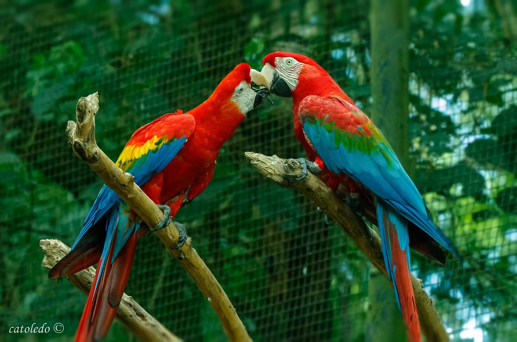 Guacamayo Rojo,  Red-and-green macaw