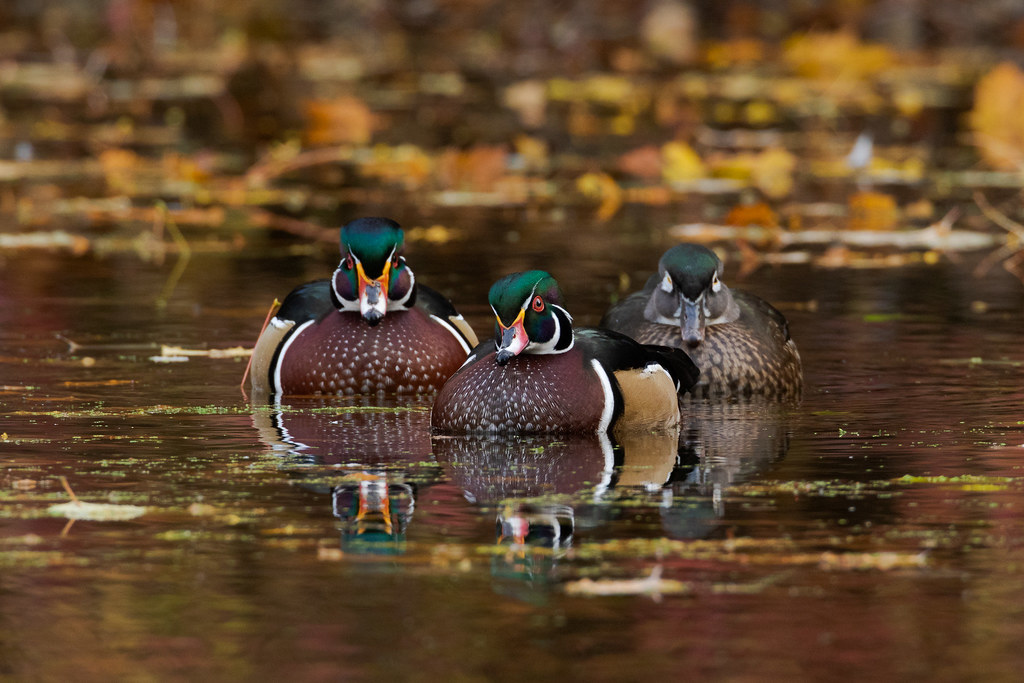 Three wood ducks swim surrounded by fallen leaves on a serene morning at Crystal Springs Rhododendron Garden in Portland, Oregon in late October 2017