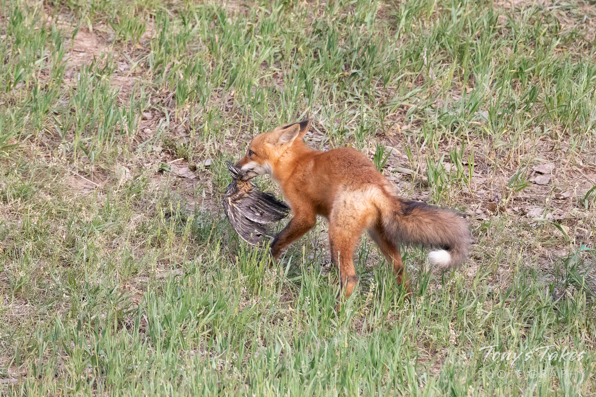 A fox kit and a feathered meal. (© Tony's Takes)
