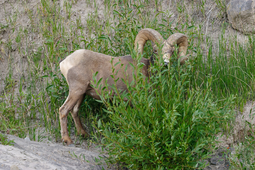 A male bighorn sheep is half-hidden behind a bush as he eats in Yellowstone National Park in July 2004