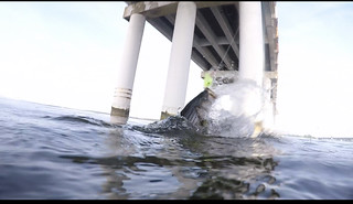 Travis Long was jigging at the Bay Bridge and sent us this cool picture of a big striped bass fighting to the surface.