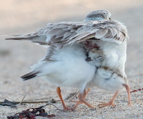 Piping Plover's vascular tissue where the chick nestles its head