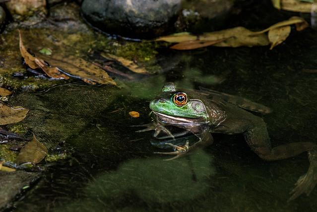 Frog in Water 3-0 F LR 6-2-19 J023