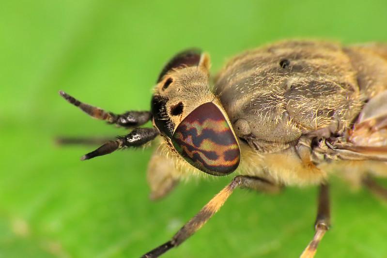 Notch-horned Cleg - Haematopota pluvialis