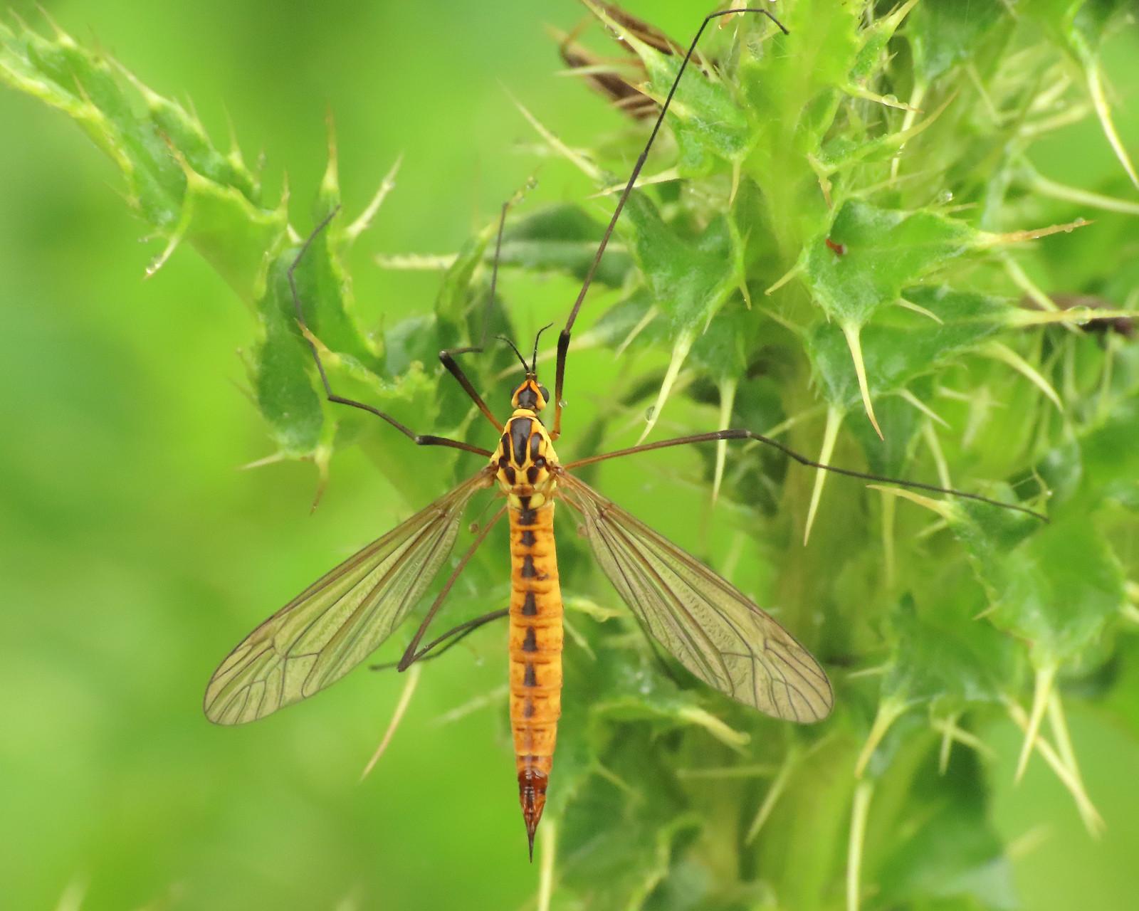 Tiger Cranefly - Nephrotoma flavescens
