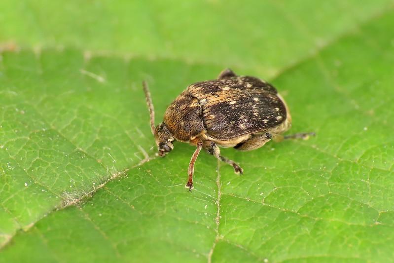 Bean Seed Beetle - Bruchus cf. rufimanus