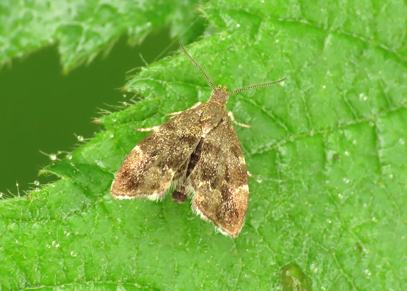 48.001 Common Nettle-tap - Anthophila fabriciana