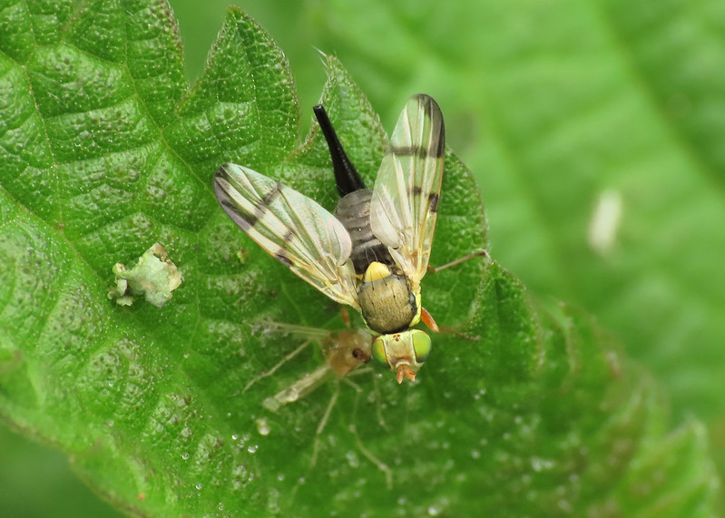 Urophora stylata