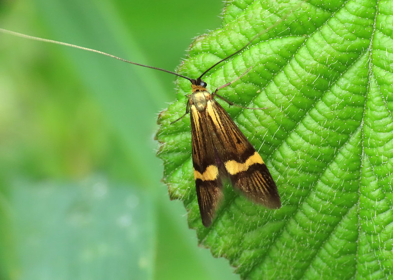 07.001 BF148 Yellow-barred Long-horn - Nemophora degeerella