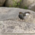 Plumbeous Water Redstart (Rhyacornis fuliginosa)