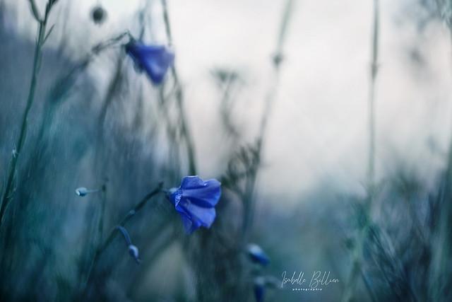 Fleurs de pluie