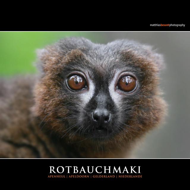ROTBAUCHMAKI