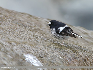 Little Forktail (Enicurus scouleri)