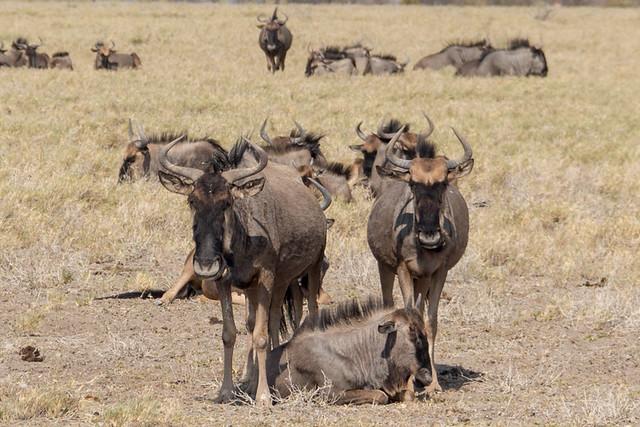 Wildebeest @ Rietfontein waterhole