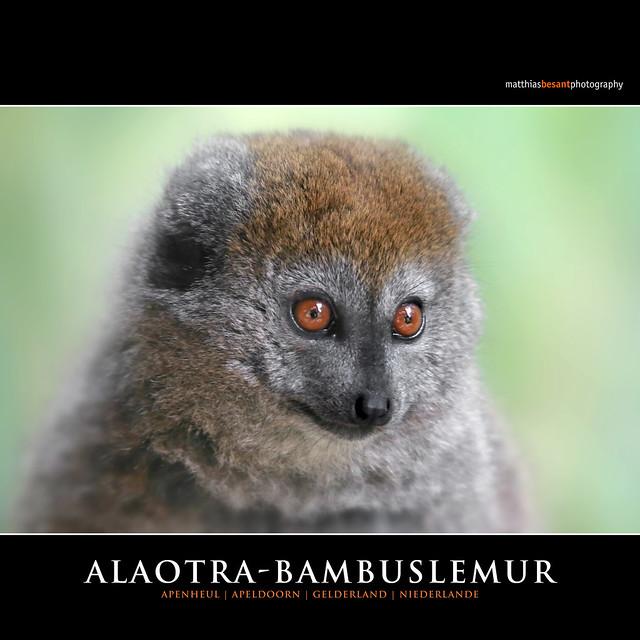 ALAOTRA-BAMBUSLEMUR