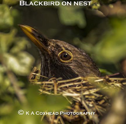 blackbird on nest1