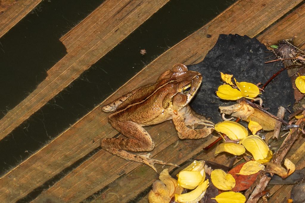 Ornate forest toad (Rhinella ornata)