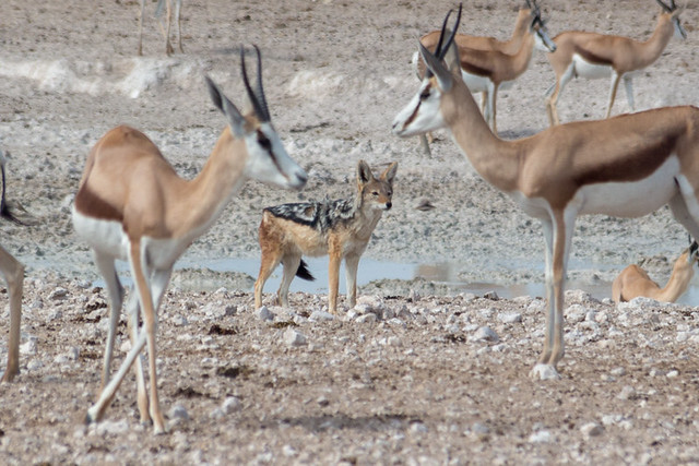 springbok and a black-backed jackal @ Nebrowni waterhole