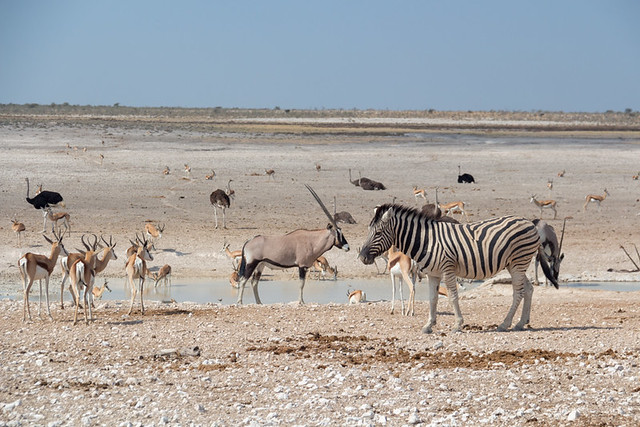 zebra and oryx @ Nebrowni waterhole