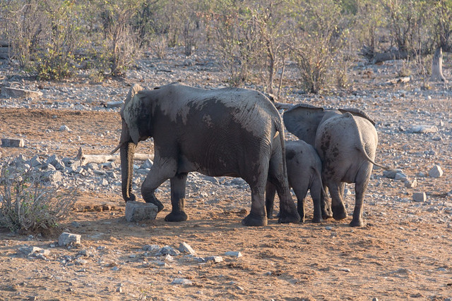 elephants @ Moringa waterhole
