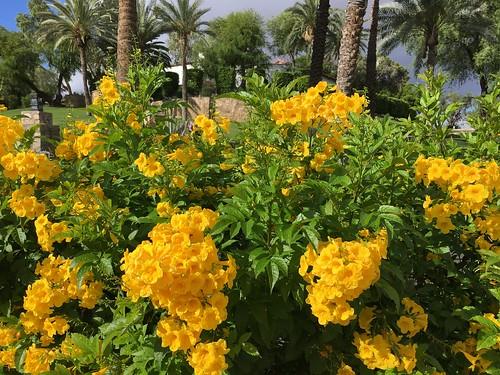 phoenix arizona wrigleymansion estates historichome landscaping walls flowers hww cmwd yellowbells