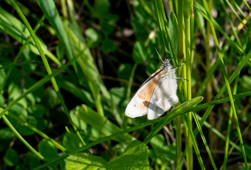 Common Ringlet | by Stephen Downes